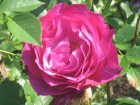 rose-magenta1