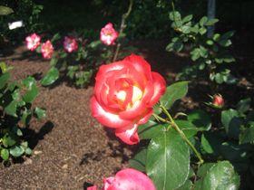 rose-pink1