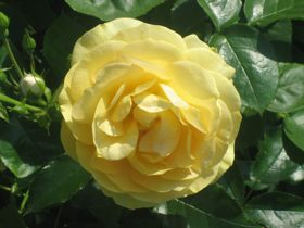 rose-yellow1
